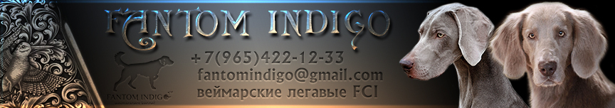 Питомник веймаранеров Фантом Индиго